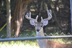 deer in velvet, chicken enchiladas, picadillo, sorghum 005