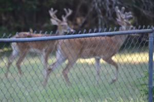 deer in velvet, chicken enchiladas, picadillo, sorghum 009
