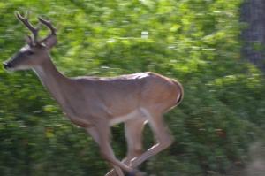 deer in velvet, chicken enchiladas, picadillo, sorghum 090