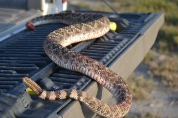 jerky, rattlesnake, roasting pumpkin 008