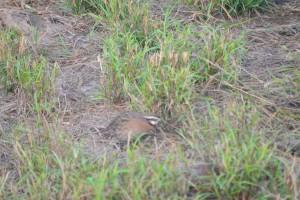 christmas, quail 10-28-14 031